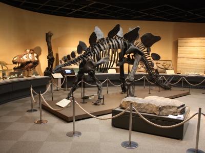 ステゴサウルスは展示室1に戻りました